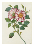 Striped or premestine rose