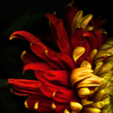 Flamenco Duotoned Chrysanthemum