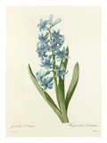 Jacinthe dOrient: Hyacinthus Orientalis