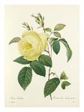 Rosa Indica: Rosier des Indes jaune