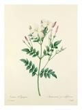 Jasmin dEspagne: Jasminum grandiflorum