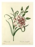 Oeillet panaché: Dianthus cariophyllus
