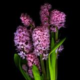 Pinkalicious  Hyacynths