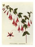 Fuchsia coccinea