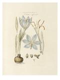 Saffron: Crocus officinalis