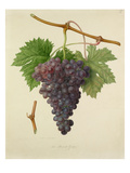 The Poonah Grape