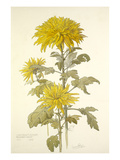 Chrysanthemum December Gold