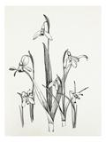 Galanthus varieties