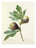 Figue violette: Ficus violacea Reproduction d'art par Joseph Marie Bessin