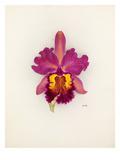 Cattleya Gladiator gx (Cattleya dowiana × Cattleya Gladys)