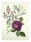 Rosa glauca  Rosa fedtschenkoana  Rosa Reine des violettes
