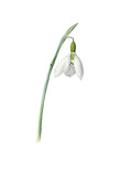 Galanthus elwesii