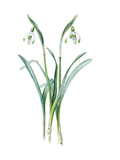 Galanthus nivalis maximus of van Tubergen