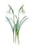 Galanthus nivalis maximus of van Tubergen
