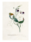 Lathyrus distoplatuphyllus hirsutus mollis