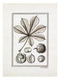 Hippocastanum vulgare