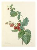 Framboisier: Rubus