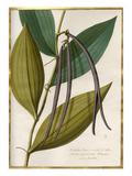 Vanilla flore viridi et albo fructa nigrescente Plumer cum fructa