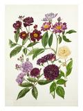 Rosa Violette  Rosa Veilchenblau  Rosa Rose-Marie Viaud  Rosa Bleu Magenta  Rosa Goldfinch
