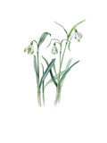 Galanthus nivalis sharlokii