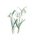 Galanthus nivalis sharlokii
