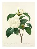 Camellia fleurs blanches: Camellia Japonica