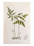 Polypodium dryopteris