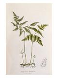 Polypodium dryopteris