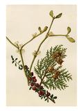 Cotoneaster microphyllus  Platycladus orientalis  Viscum album