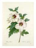 Althea Frutex: Hibiscus Syriacus