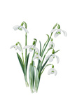 Galanthus caucasicus grandis