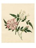 Dianthus caryophyllus Scarlet Flake: Jasminum officinale