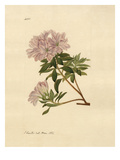 Rhododendron indicum