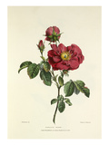 Damask Rose