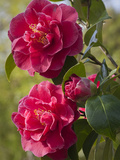 Camellia &#215; williamsii William Carlyon