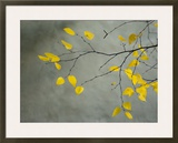 Yellow Autumnal Birch (Betula) Tree Limbs Against Gray Stucco Wall