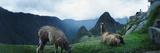 Alpacas (Vicugna Pacos) in a Field with Mountains in the Background  Machu Picchu  Cusco Region