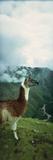 Alpaca (Vicugna Pacos) on a Mountain  Machu Picchu  Cusco Region  Peru