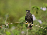 Snail Kite (Rostrhamus Sociabilis) Perching on a Branch  Three Brothers River  Meeting of the Wa