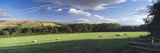 Sheep Grazing in a Field  Nunburnholme Wold  Nunburnholme  East Yorkshire  England