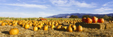 Pumpkins in a Field  Santa Ynez Valley  Santa Barbara County  California  USA