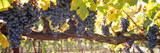 Close-Up of Grapes in a Vineyard  Napa  Napa County  California  USA