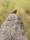 Vermilion Flycatcher (Pyrocephalus Rubinus) on a Rock  Three Brothers River  Meeting of the Wate