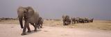Herd of Female African Elephants (Loxodonta Africana) with their Calves  Etosha National Park  K
