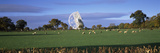 Radio Telescope and Sheep in a Field  Jodrell Bank Observatory  Jodrell Bank  Macclesfield  Ches