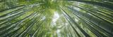 Low Angle View of Bamboo Trees  Hokokuji Temple  Kamakura  Kanagawa Prefecture  Kanto Region  Ho