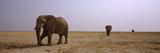 Three African Elephants (Loxodonta Africana) Bulls Approaching a Waterhole  Etosha National Park