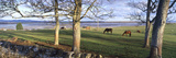 Horses Grazing in a Pasture  Budle Bay  Budle  Northumberland National Park  Northumberland  Eng
