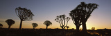 Silhouette of Quiver Trees (Aloe Dichotoma) at Sunset  Namibia