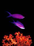 Purple Anthias (Pseudanthias Tuka) Swimming Underwater